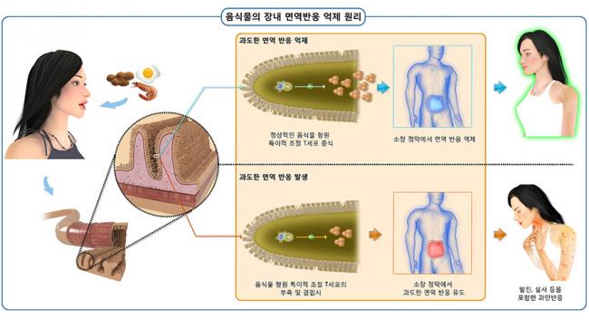 음식물의 장내 면역반응 억제 원리 모식도. IBS 면역 미생물 공생 연구단은 몸속에 늘 존재하는 미생물 집단인 상재미생물총과 면역계의 상호작용을 주 연구대상으로 한다. - IBS 제공